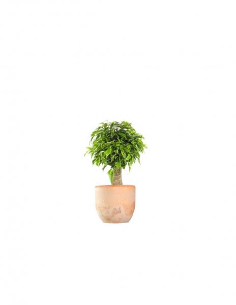 Ficus benjamin –  tronchetto