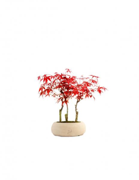 Acero rosso boschetto M