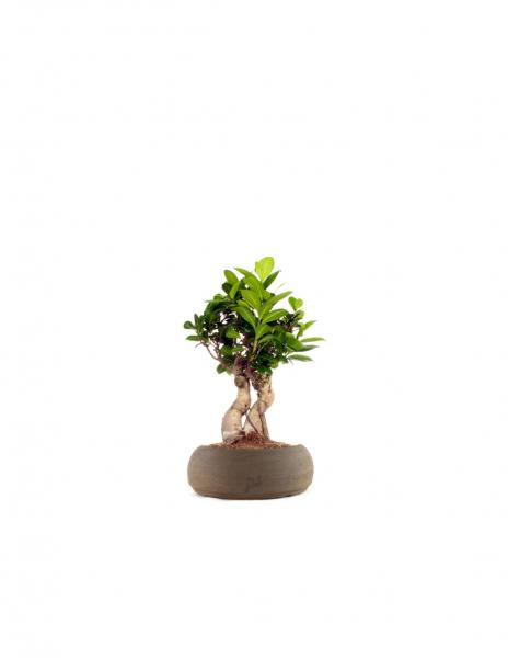 Ficus Ginseng S
