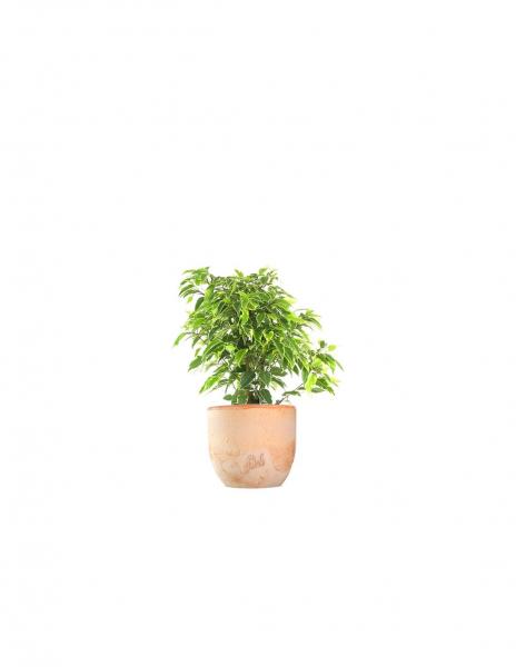 Ficus benjamin – variegato